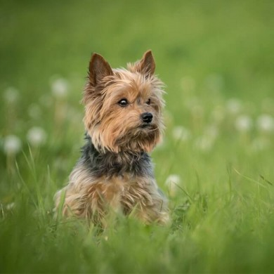 How to Deal With Tapeworms in Dogs